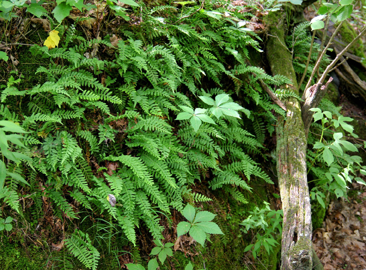 A close-up of a cluster of ferns in the Crab Orchard Wilderness.